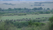 Stock Video Footage of Wildebeest Roaming