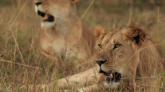 Two Lions Relaxing Stock Footage
