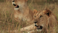Stock Video Footage of Two Lions Relaxing