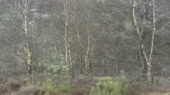 European Birch trees in snowstorm, glacial landscape Stock Footage