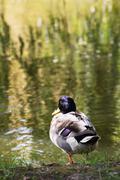 mallard duck resting by the pond - stock photo
