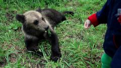 Stock Video Footage child plays bear animais selvagens, definition high, HiDef, - stock footage