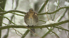 Fieldfare (turdus pilaris) in snow coverd tree Stock Footage