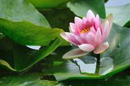 Stock Photo of pink lotus