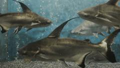 4k Sharks swimming in fish tank. Stock Footage