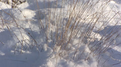 Moor hexe, molinia caerulea stabbing out of snow covered ground Stock Footage