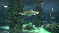 Sand tiger shark swimming in aquarium Stock Footage