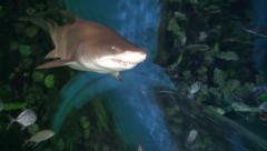 Sand tiger shark in aquarium - Carcharias taurus Stock Footage