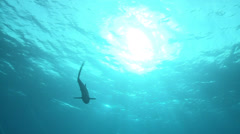 silky shark swimming at sun - shark silhouette - stock footage