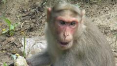 Eating Monkey Stock Footage