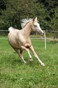 beautiful palomino horse running on pasturage - stock photo