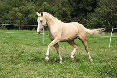 Beautiful palomino horse running on pasturage Stock Photos