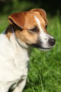 fantastic jack russel terrier in the garden - stock photo