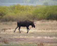 Moose bull  (alces alces) in willow landscape, autumn Stock Footage