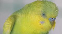 Bird Sounding - Close up shot Stock Footage