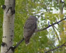 Great grey owl, strix nebulosa perched on branch, turns head - on camera - stock footage