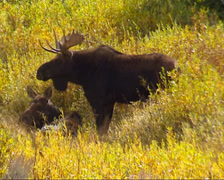Moose couple (alces alces) bull and cow in rut + zoom out autumn landscape Stock Footage