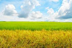 Wide cornfield in blue sky Stock Photos