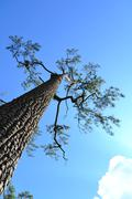 large pine trees. - stock photo