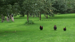 Welsummer, free ranging chickens in Dutch fruit orchard Stock Footage