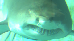 Sand Tiger Shark HD 1080p 29.97 fps Stock Footage
