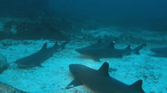whitetip reef sharks resting on bottom - Cocos island - stock footage
