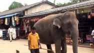 Stock Video Footage of Pregnant Elephant cow goes through the Pinnawala village.