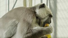 4k Interior close up shot of a monkey eating fruit. Stock Footage