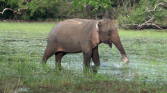 Sri Lankan Wild Elephant is grazing in the lake. Stock Footage