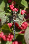 Autumn Hawker - spindle bush Stock Photos