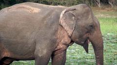 Sri Lankan Wild Elephant is grazing in the lake. Stock Footage