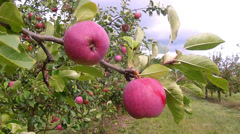 Apple orchard. Stock Footage