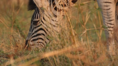 Zebra eating grass - stock footage