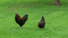 Welsummer rooster and hen, free ranging chickens Stock Footage