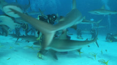 Scuba diver feeding caribbean reef sharks - school of sharks, Bahamas Stock Footage