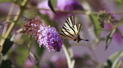Butterfly (papilio machaon) on a flower - stock footage