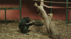 4k Interior wide shot of a monkey eating fruit. Stock Footage