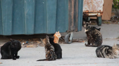 Stock Video Footage of 1080p Stock - Several Alley Cats at dumpster