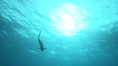 Silky shark swimming at sun - shark silhouette Stock Footage