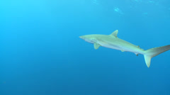 Camera follow a swimming silky sharks in the blue - beautiful tracking shot Stock Footage