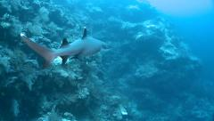 Camera follow a swimming whitetip reef shark Stock Footage