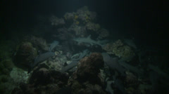 Whitetip reef sharks hunting at night - Cocos island, Two footage! Stock Footage