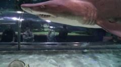 Shark swimming over the aquarium shark tunnel - Tree footage! Stock Footage