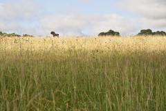 black wildebeest - stock photo