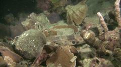 Walking shark or epaulette shark - walking on the reef Stock Footage