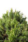 Leaf pine in garden Stock Photos