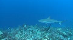 Caribbean reef shark swimming - Carcharhinus perezii Stock Footage