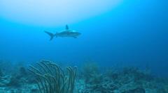 Caribbean reef shark swimming at sun - Carcharhinus perezii) Stock Footage