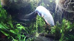 Stock Video Footage of An Electric Eel, Electrophorus electricus