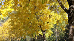 Yellow Falling Leaves from Beech Trees Along the Road in Autumn Season Stock Footage